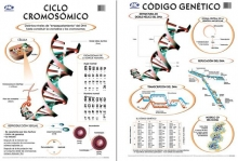 Código genético/ Ciclo cromosómico 50 x 70 cm.