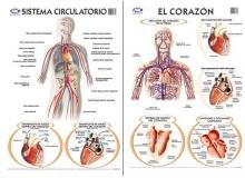 Circulatorio/Corazón 50 x 70 cm