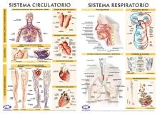 Circulatorio/Respiratorio 102 x 72 cm