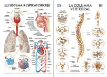 Respiratorio/Columna 50 x 70 cm