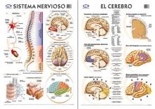 Sistema Nervioso/Cerebro