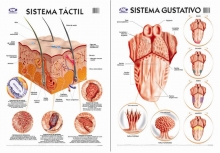 Sistema gustativo/Táctil 50 x 70 cm